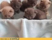 Kocięta,Kotki Brytyjskie z rodowodem mazowieckie,  mazowieckie Warszawa