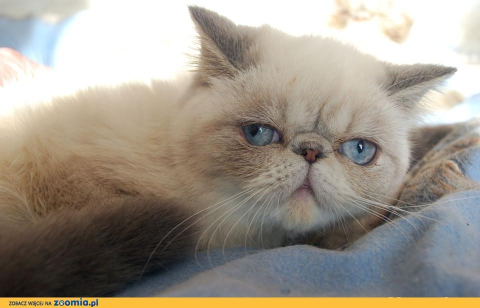 Kot Egzotyczny Ogłoszenia Z Hodowli Koty Egzotyczne Zoomiapl Pl 1