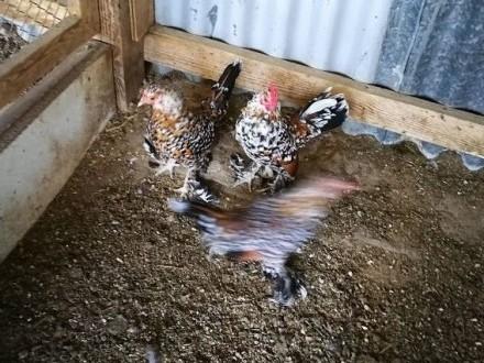 Kury Karzełki łapciatełuskowane
