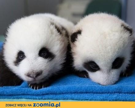 Szocializált panda kölykök
