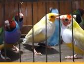 Kanarki, amadyny,papuziki