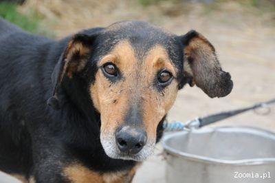 Faworek, krzywołapek, przeszedł psie piekło_ Szuka kochającego domu (Wielkopolska)
