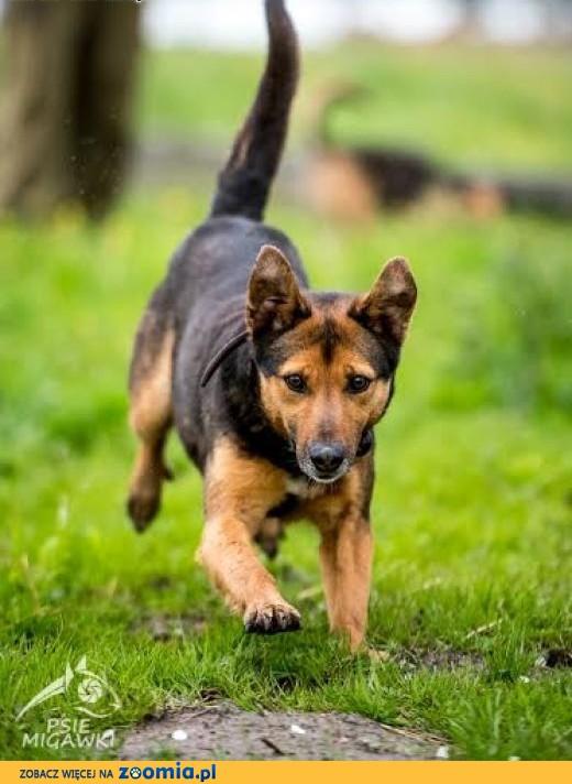 WALIK - tak fajnego psa jeszcze nikt nie ma!,  świętokrzyskie Kielce
