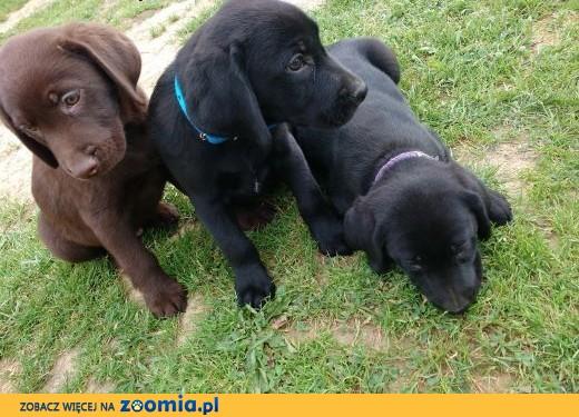 Labrador Retriever szczeniaki sprzedam,  podkarpackie Dębica