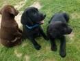 'Labrador Retriever szczeniaki sprzedam,  podkarpackie Dębica