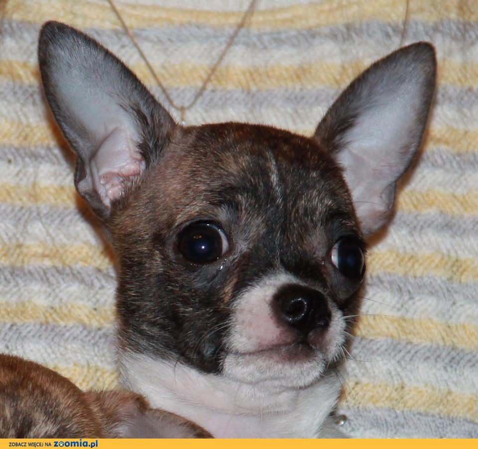 Chihuahua krótkowłosy - piesek wystawowy 7 m-cy