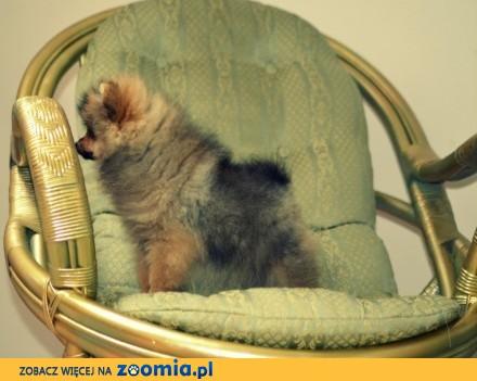 Pomeranian -chłopiec FCI