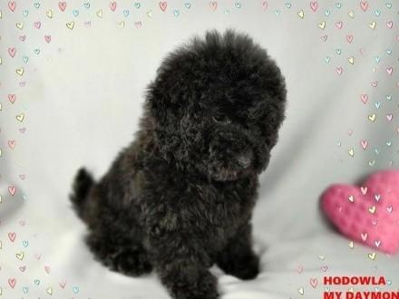 PUDEL czarny - piękny Koreański miś