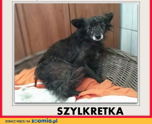 5kg,mała,łagodna,wrażliwa,sterylizowana suczka SZYLKRETKA.ADOPCJA,  łódzkie Łódź