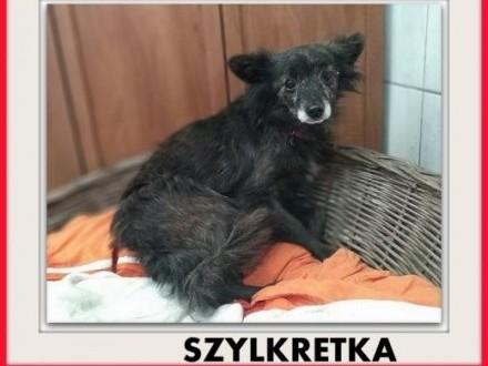 5kg mała łagodna wrażliwa sterylizowana suczka SZYLKRETKAADOPCJA   łódzkie Łódź
