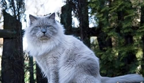 Rodowodowe Kocięta Neva Masqarade ze Szczęśliwej*PL Śląsk