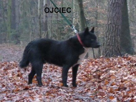 Karelski Pies na Niedźwiedzie              Rodowód