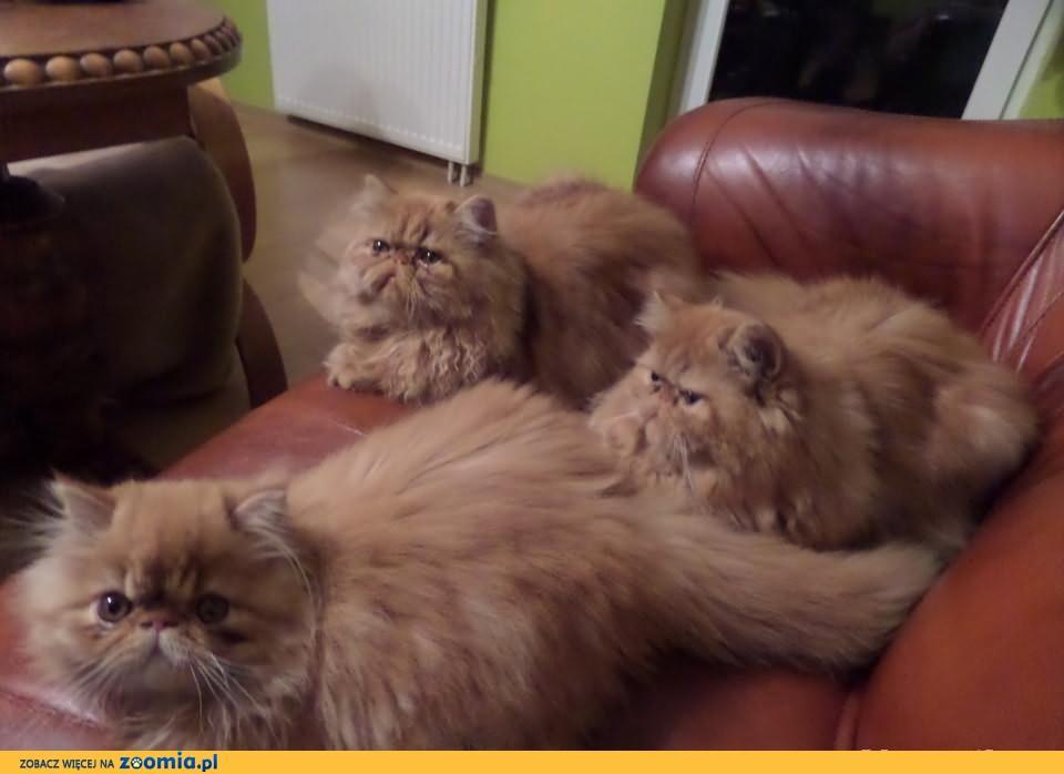 Rodowodowe koteczki perskie
