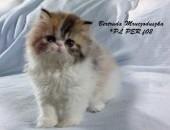 Przepiękna koteczka calico z hodowli