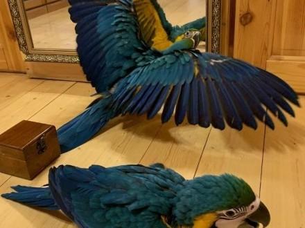 ara ararauna ptaki oswojone ręcznie karmione