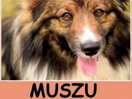 Średni 15 kg długa sierść krótkie łapki  przyjacielski pies MUSZUAdopcja   dolnośląskie Wrocław