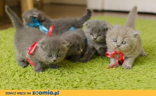 4 piękne kocięta Scottish Fold (Proste uszy i złożone uszy),  małopolskie Wierchomla Mała