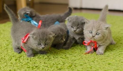 4 piękne kocięta Scottish Fold (Proste uszy i złożone uszy)   małopolskie Wierchomla Mała