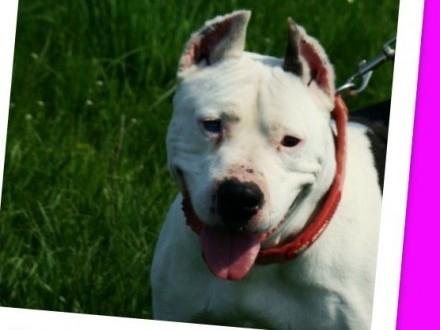 Przyjazny  kontaktowy 6 letni pies KRÓWEK amstaf mix_Adopcja