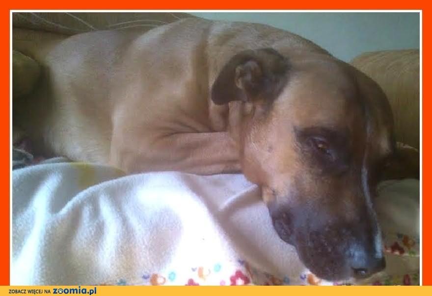 BOKSIU-uratowany,smutny,młody,duży pies mix bokser.ADOPCJA