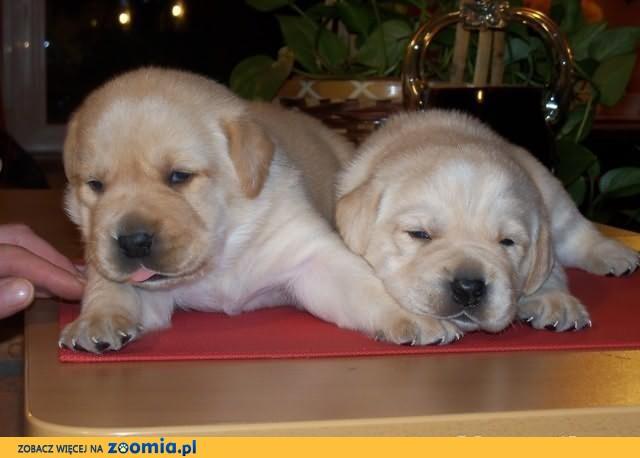 Labrador Labradory WYBITNE  FCI ZKwP WARSZAWA
