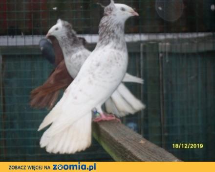 Gołębie  gdańskie wysokolotne (sokoły gdańskie) j_mazery  dwie pary_