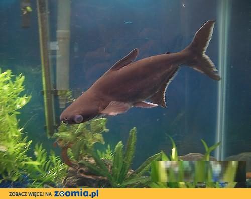 Sumy rekiny akwariowe