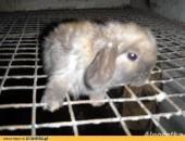 królik baranek miniaturka