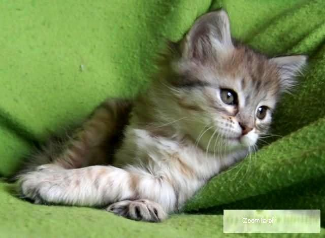 Inia od Ivanki PL koteczka syberyjska