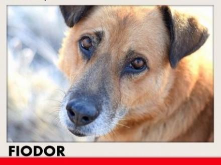 FIODOR  40kg duży spokojny zrównoważony pies do adopcji   małopolskie Kraków