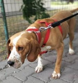 BAFI - piękny psiak w typie gończego szuka domu