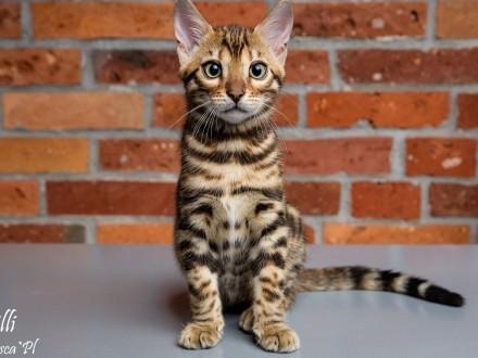 Piękne kocięta bengalskie