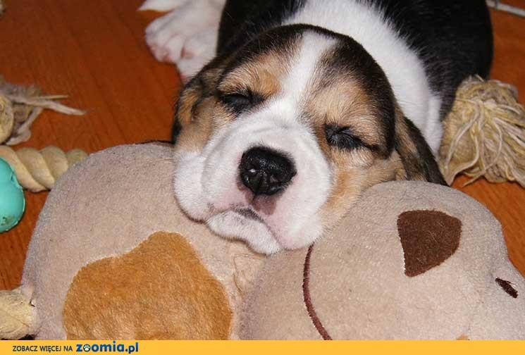 Beagle szczenięta na sprzedaż tricolor rodowód ZKwP cena