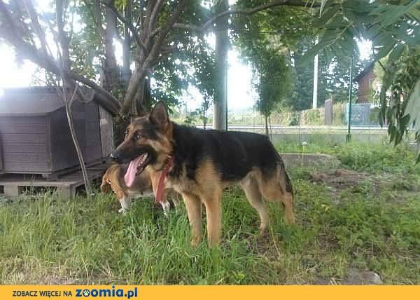Poker to około 1,5 roczny pies w typie owczarka niemieckiego krótkowło