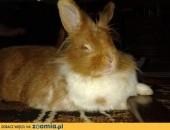 Oddam slicznego królika miniaturkę z klatka.,  dolnośląskie Zgorzelec