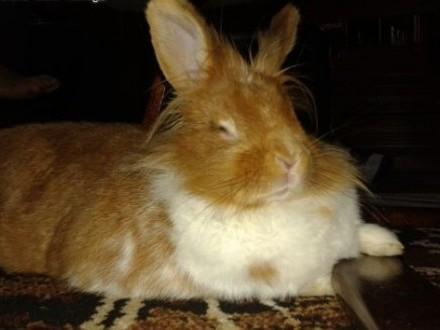Oddam slicznego królika miniaturkę z klatka   dolnośląskie Zgorzelec