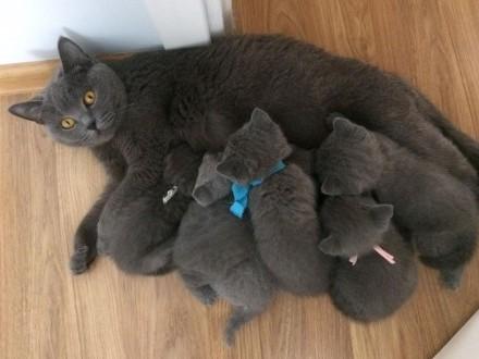 kot brytyjski kocięta