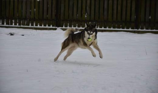 Alaska w typie husky szuka domu   mazowieckie Warszawa