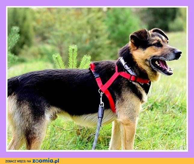 Średni 15 kg,łagodny, przytulaśny, grzeczny ,rodzinny psiak GABOR_Adopcja