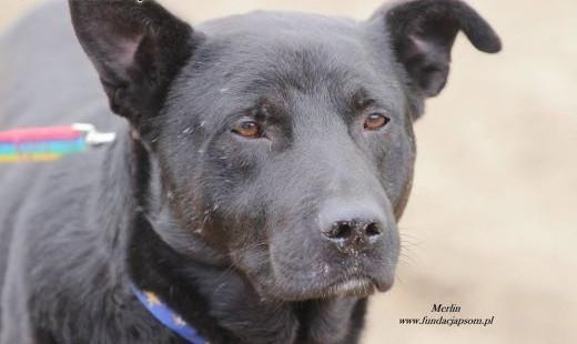 Merlin - mega grzeczny i przyjazny chłopak   mazowieckie Nowy Dwór Mazowiecki