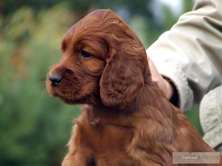 Modish seter irlandzki - śliczne szczeniaki « Irish Setter « Dogs ZZ56