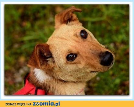 Mały młodziutki zaszczepiony radosny łagodny przytulaśny piesek KARMEL_Adopcja_