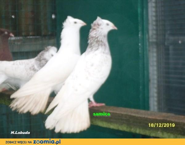 Gołębie, gdańskie wysokolotne (sokoły gdańskie) j_mazer, samica_