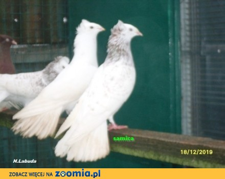 Gołębie  gdańskie wysokolotne (sokoły gdańskie) j_mazer  samica_