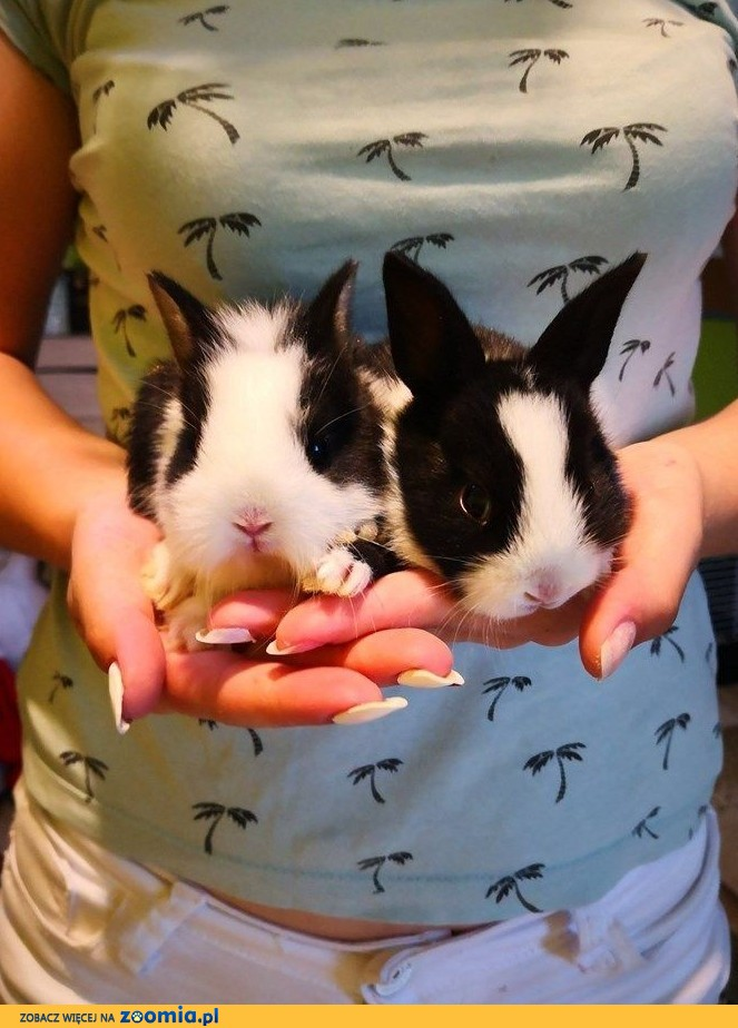 Królik miniaturka , karzełek , króliczek