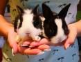 'Królik miniaturka , karzełek , króliczek