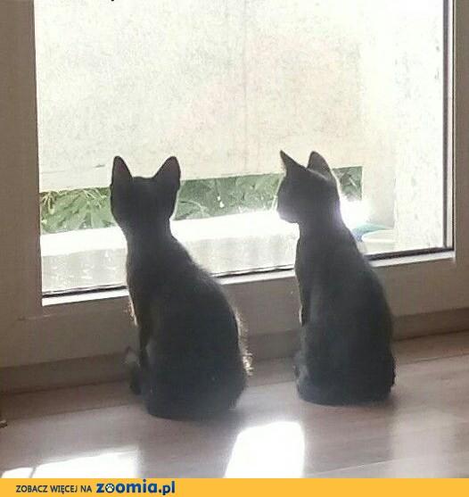 Kociaki: Perro i Pera szukają domów,  łódzkie Łódź
