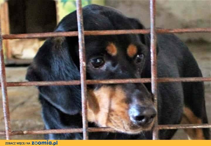 Reks, GOŃCZY SŁOWACKI, piękny pies szuka domu!