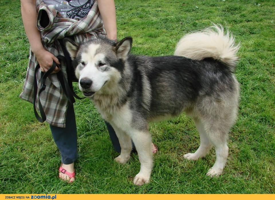 Alaskan to piękny pies w typie Alaskan Malamute.