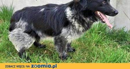 PUSZEK - piękny, kochany psiak szuka pilnie domu,  małopolskie Kraków
